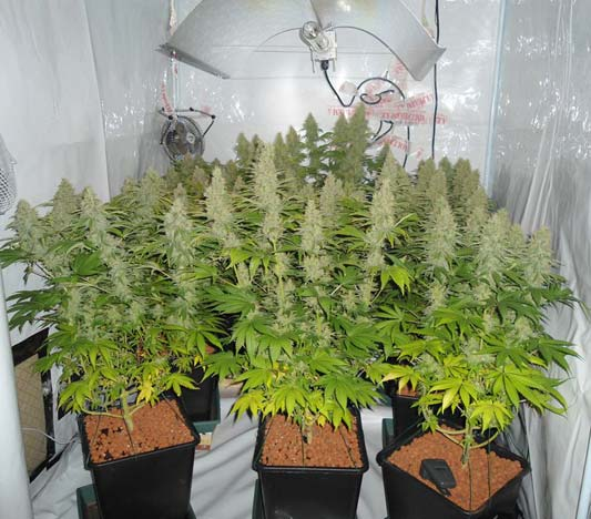 https://graine-cannabis.info/wp-content/uploads/2017/02/pure-power-plant-2.jpg
