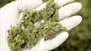 récolte-cannabis