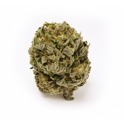white-haze-automatic-feminized