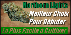 northern lights graine cannabis