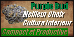 purple bud graine cannabis