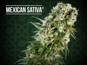 mexican sativa fem 1