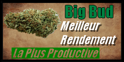vignette graine de cannabis big bud