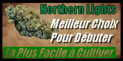 vignette graine de cannabis northern lights