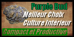 vignette graine de cannabis purple bud
