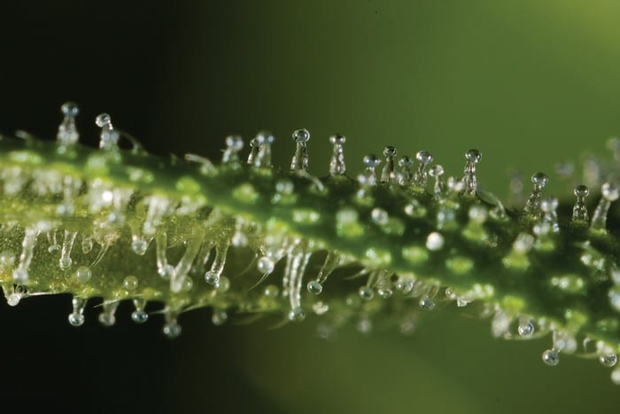 trichommes cannabis