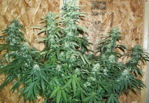 L A Confidential plant