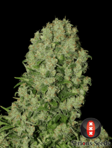 white russian bud tete