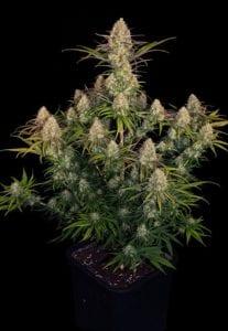 critical jack plant