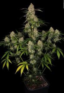 Tête sur plant Big Kush Féminsée