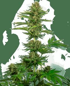 Sensi #743 CBD tete plant