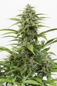 Critical + Autofloraison tete plant