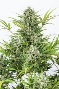 Critical Cheese Autofloraison tete plant