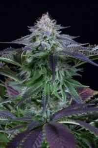 Dinamed CBD Autofloraison tete plant
