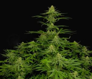 Dinamed CBD Plus plant