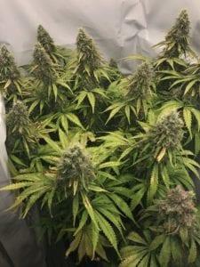 Dinamed Kush CBD Autofloraison plante