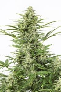 Dinamex Autofloraison tete plant