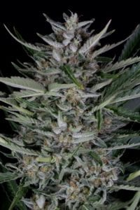 Gorilla Autofloraison tete plant