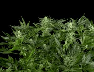 Gorilla CBD plant