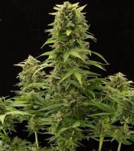 Haze 2.0 Autofloraison plant
