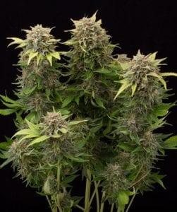 Moby Dick Autofloraison plant