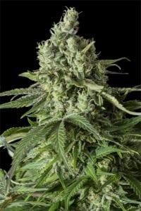 Moby Dick CBD tete plant