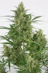 Moby Dick XXL Autofloraison tete plant