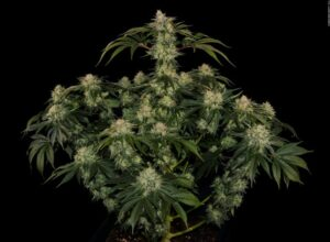 OG Kush CBD Autofloraison plante
