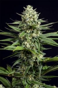 OG Kush CBD Autofloraison tete plant