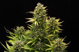 Original Amnesia Autofloraison plant