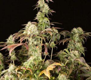 Remo Chemo plante