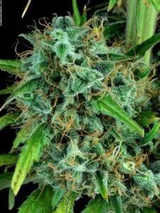 Serious 6 tete plant