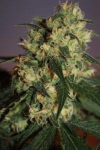 Warlock tete plant
