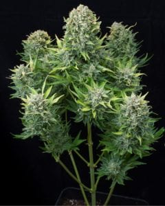 White Cheese Autofloraison plant