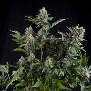 White Widow CBD Autofloraison plant