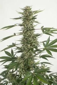 White Widow CBD Autofloraison tete plant