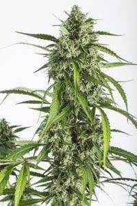 White Widow XXL Autofloraison tete plant