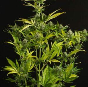 kush'n'cheese autofloraison plant
