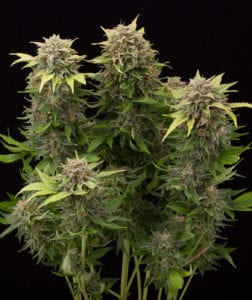 moby dick#2 plant
